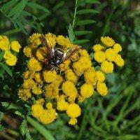 Пчела на пижме :: Сергей Цветков