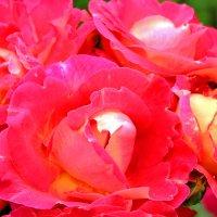 Садовые розы :: Альберт Казачёк