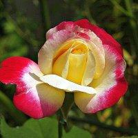 Роза «Double Delight» :: Александр Корчемный