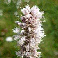 полевой цветок :: tgtyjdrf
