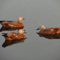 Не частые гости на нашем пруду :: Андрей Лукьянов