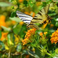 Бабочка - Парусник Подалирий - :: Оля Богданович