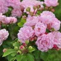 Розовые розы :: Алеся Пушнякова