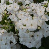 Белый флокс. :: zoja