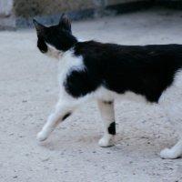 Котик чёрно-белый :: Света Кондрашова