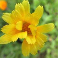Цветок каленлулы(ноготков) :: Valentina