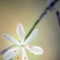 цветок :: раф