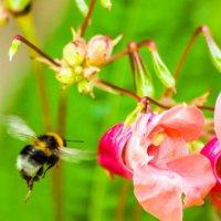 Из жизни цветов. Заход на посадку :: Валерий Смирнов