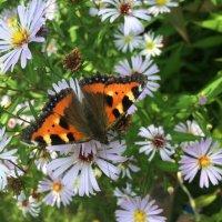 бабочка в сентябринах :: Elena Pashkova