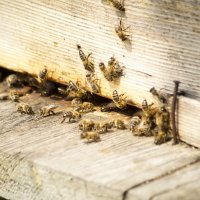 Подсмотрев за пчелами :: Татьяна Орлова