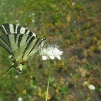 Бабочка опыляет цветочек полевой. :: Андрей Балабуха