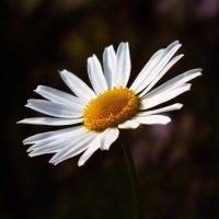 Ромашка такой простой цветок, но красивый :: Наталья ХХХХХ