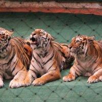 Тигры :: Екатерина Краева