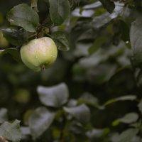 Сибирские яблочки :: cfysx
