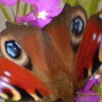 то ли бабочка, то ль лиса... :: linnud