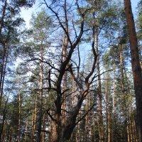 Этот лес в прошлом... :: Irina Gizhdeu