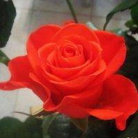 Розы. розы. розы... :: татьяна