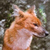 Красный волк :: cfysx