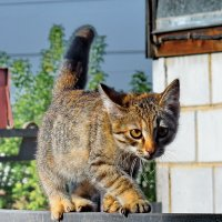 Кошке боязно немножко,по забору идет кошка! :: A. SMIRNOV