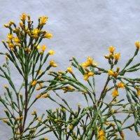Хатиора цветёт :: MPS
