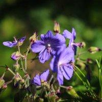 цветочки полевые :: Ольга Чазова