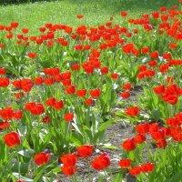 Море тюльпанов :: татьяна