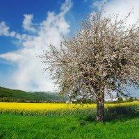 яблоня в цвету :: Elena Wymann