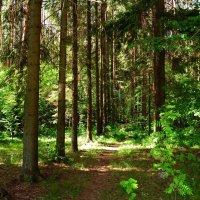 Солнечный лес :: Елена Федотова