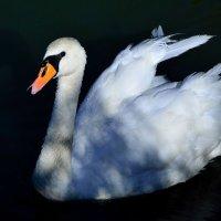 Лебедь :: Александр