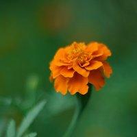 летние цветы 6 :: Дмитрий Барабанщиков