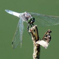 любят стрекозы сухие сучки для посадки :: Александр Прокудин