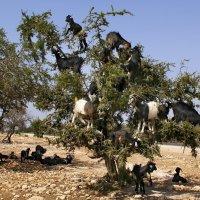 Марокко. Восьмое чудо света. Лазающие по деревьям козы :: Андрей Левин