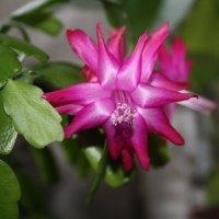 Декабрист цветёт :: Наталия Павлова