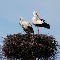 аисты :: linnud