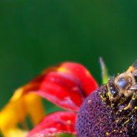 пчелка :: vladimir воронов