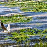 Чайка над Двиною :: Виктор Заморков