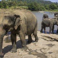 Pinnawela elephant orphanage in Sri Lanka :: Андрей