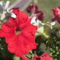 Красный цветок :: Анатолий Иргл