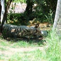 Еще один...тигр в кустах. :: Ольга Васильева