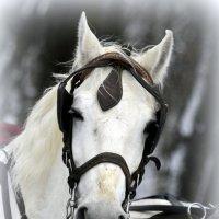 Голова лошади  / 2 / :: Сергей