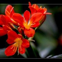 Алый цветок. :: Слава Славуцкий