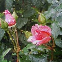 У нас снова дождь... :: Лия ☼