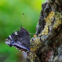 Бабочка от ветра прячется на берёзе... :: Анатолий Клепешнёв