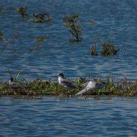 Чайки на озере :: Сергей Цветков
