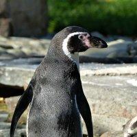 пингвин :: Ольга Богачёва