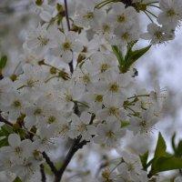 Вишня цветёт :: Марина Титкова
