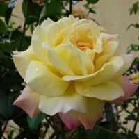 «Глория Дей» во всем мире признана эталоном розы.... :: Galina Dzubina