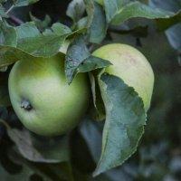 Яблоки в саду :: Ирина Аршинова