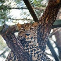 Леопард :: Павел
