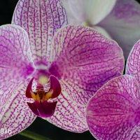 Орхидея :: Геннадий Хоркин